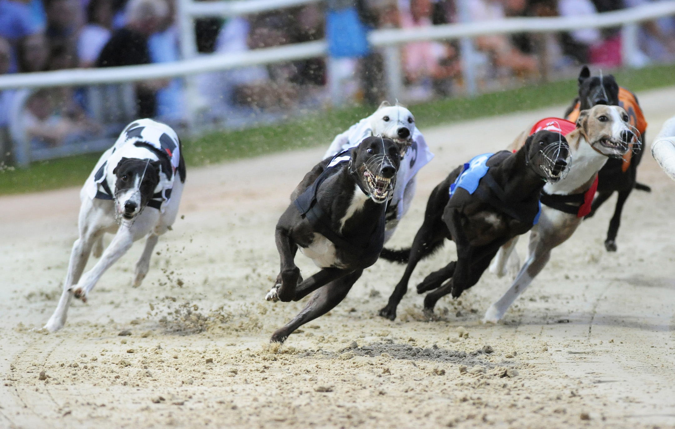 irish greyhound racing results