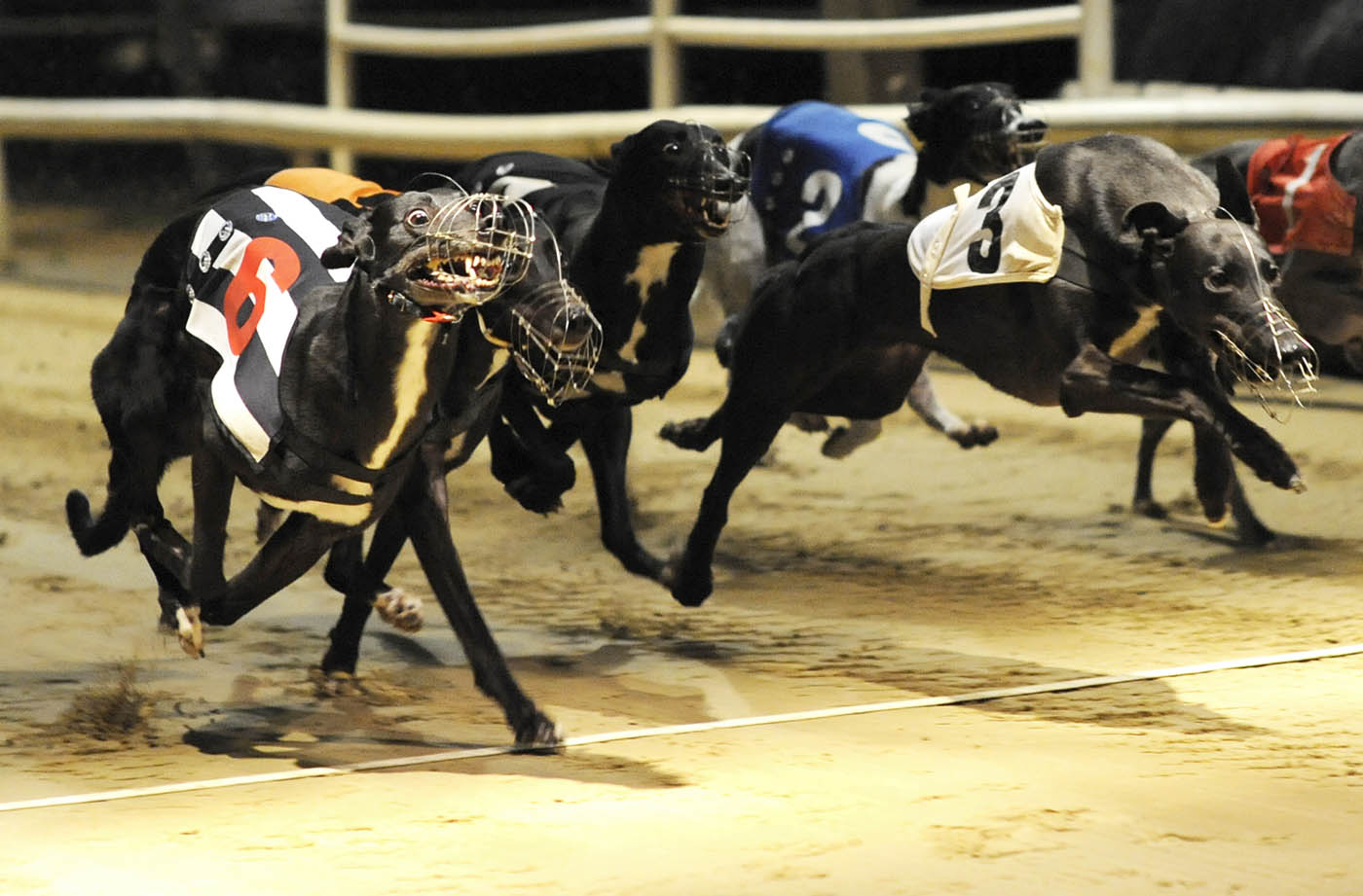 greyhound racing betting