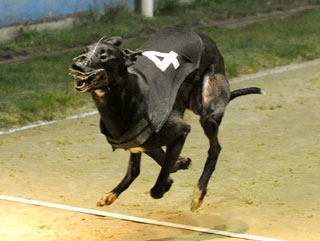 greyhound racing classes